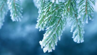 Frosted Pine Tree